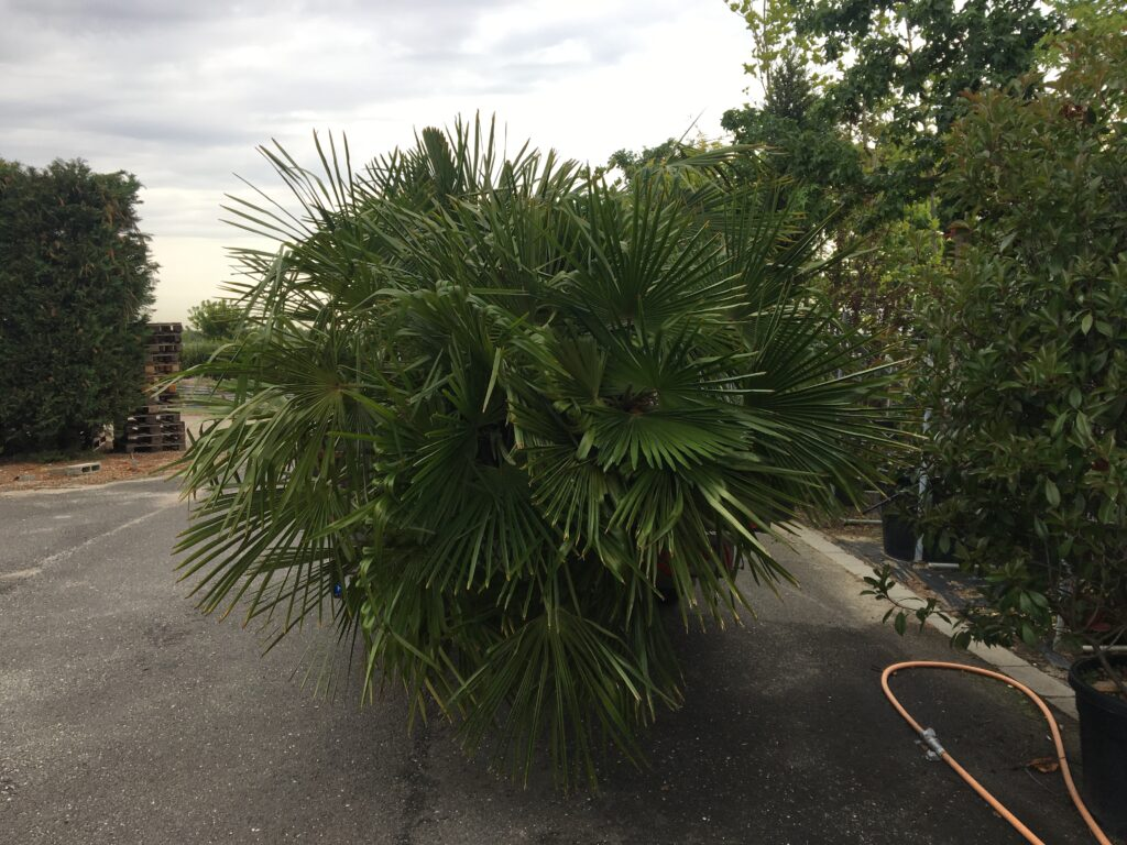 Kínai kenderpálma Visszük a pálmát