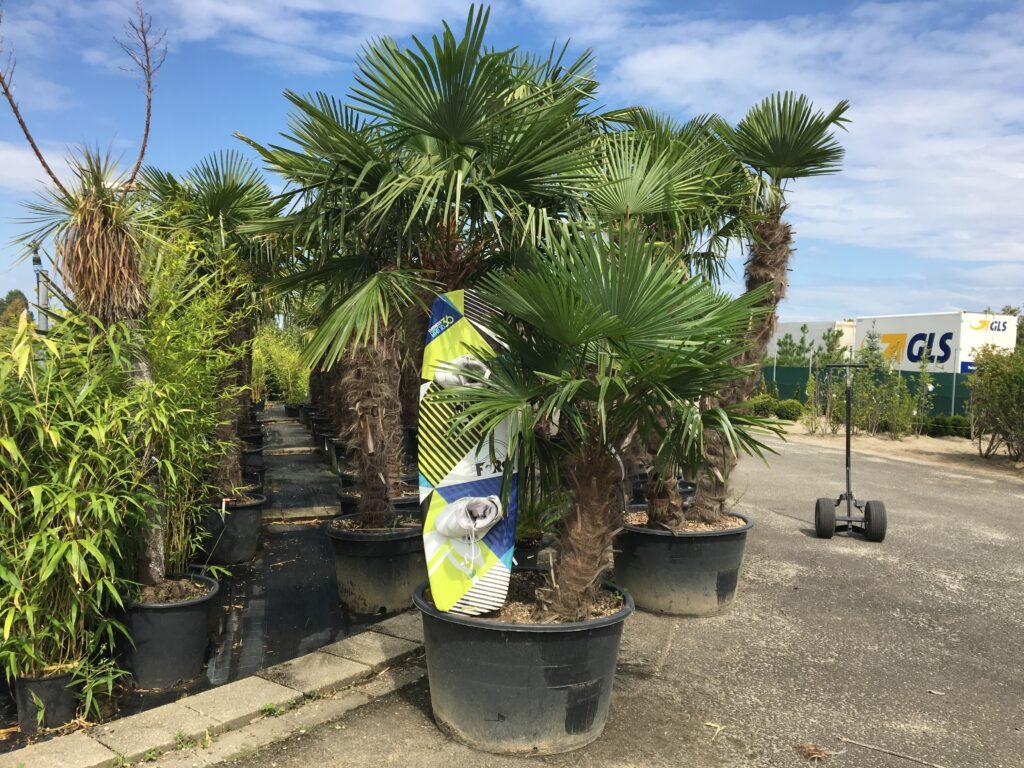 Kínai kenderpálma többtörzses pálma Görbe törzsű pálma egész évben nyár